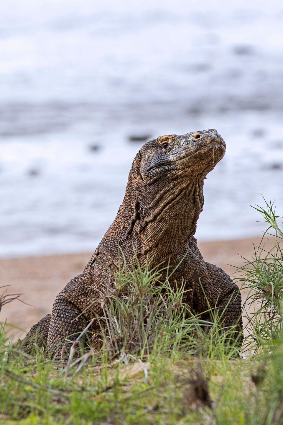 <p>Komodo dragons can grow up to 10 feet long and swell to around 150 pounds, which means they eat … a <em>lot</em>. Try up to 80 percent of their own body weight in a <em>single meal</em>. Their post meal-ritual? They regurgitate all of the indigestible parts (bone, hair, feathers, scales) into gastric pellets that smell awful.</p>