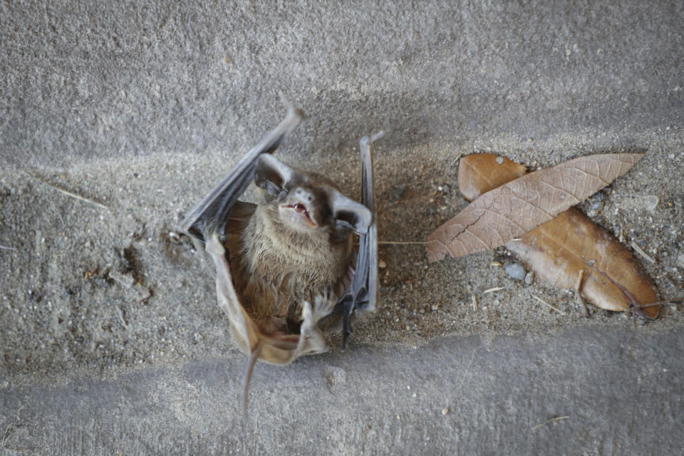A Mexican Free-tailed bat struggles to stay alive after falling from the bridge at Waugh Drive in Buffalo Bayou Park, where it was impacted by the winter storm Monday, Feb. 22, 2021, in Houston. Birds, bats and other wildlife appear to have taken a beating during the winter storm and deep freeze in the southern U.S. Scientists say it might take weeks or months to determine the extent of the harm. (Steve Gonzales/Houston Chronicle via AP)