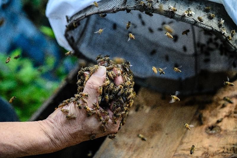 Yip pulls out handfuls of bees from a drawstring bag (AFP Photo/Anthony WALLACE)