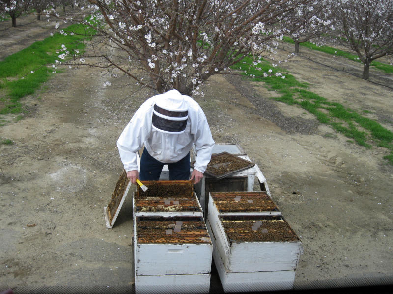 In this March 20, 2011 photo, beekeeper and bee scientist Gordon Wardell opens up hives at an almond orchard at Paramount Farms in Lost Hills, Calif. The California Apiary Research Commission would tax any beekeeper operating with more than 50 colonies of bees in California, at a rate of up to $1 per hive. Proponents say the money would fund crucial research on the health of bees, which continue to perish in great numbers from Colony Collapse Disorder and other health aliments. Bees are essential to the agricultural industry as pollinators of a third of the United States' food supply. (AP Photo/Gosia Wozniacka)