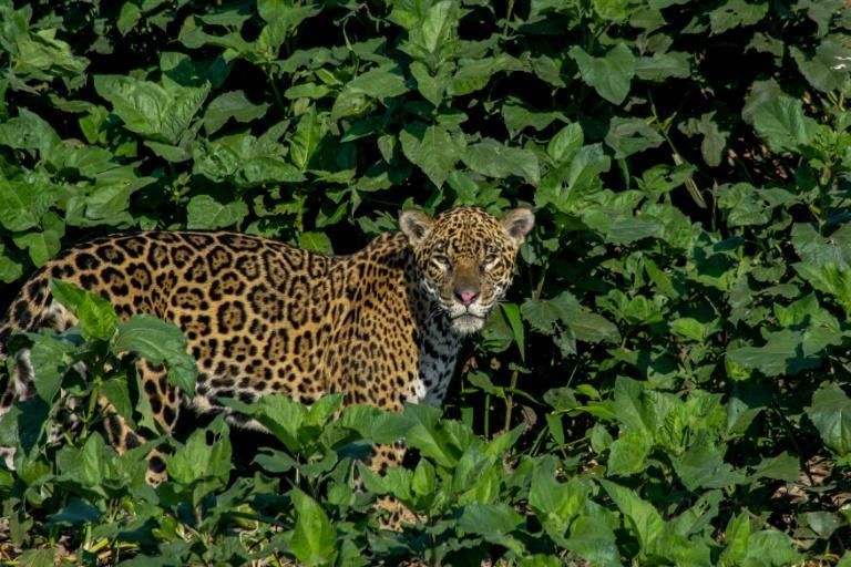 A handout photo showing a jaguar, which researchers believe number around 7,000 in Bolivia, but which are threatened by poaching driven by Chinese demand for teeth and skulls