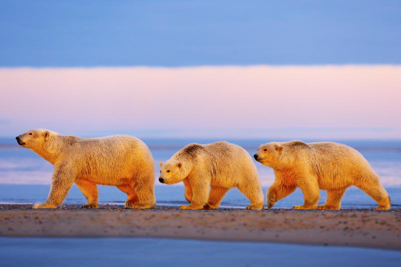 A mother polar bear and her cubs walk in the Arctic National Wildlife Refuge. (Barcroft Media via Getty Images)