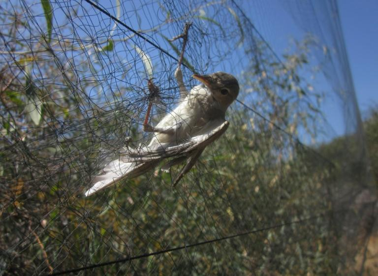 An Olivaceous Warbler is caught in a mist net put up by illegal trappers on Cyprus, among some two million birds killed on the island each year