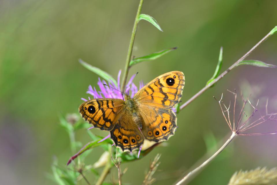 Species such as the Wall Butterfly are under threat (Don Sutherland/Cornwall Wildlife Trust/PA).