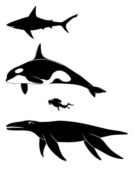 Pliosaurs were huge, even compared with other giants, such as the great white shark (top), killer whale and the relatively small human.
