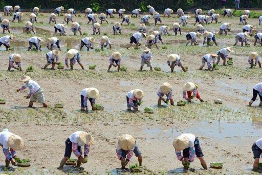 Local farmers plant rice shoots in the fields of Hsinwu