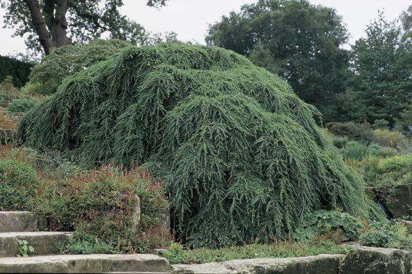 <p>Weeping hemlock—also known as Canadian hemlock—can reach heights anywhere from 10 to 15 feet and grow in a graceful, draping form. The plants, which appear delicate, are actually quite hardy and do best in full sunlight. </p><p><br><strong>Where to plant:</strong> Full to partial sun<br><strong>USDA Hardiness Zones:</strong> 4 to 8</p>