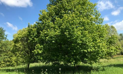 Tree of the week: A maple and a lime tree adopted in honour of two beloved lost sons