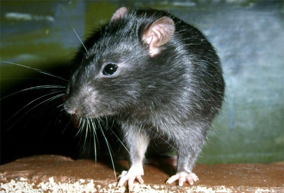 Rats have become 'bigger and braver' during lockdown, according to a pest control expert (Stock image)  (ALAMY)