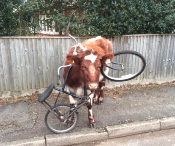 Cow gets bike stuck on its head. Really
