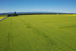 Yield10 Bioscience 50 acres of Camelina planted in Montana, July 2020.