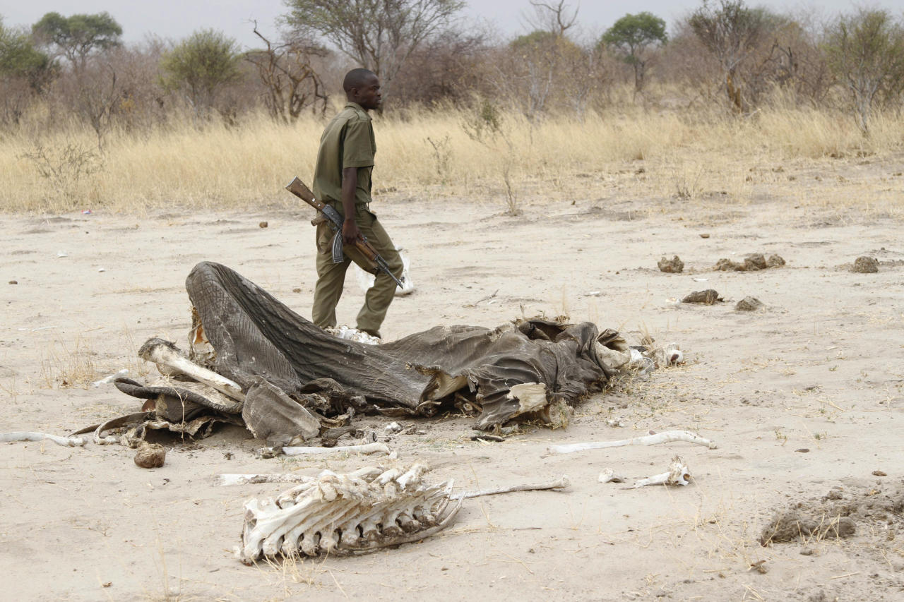 In this Sunday, Sept. 29, 2013 photo, a game ranger walks by a rotting elephant carcass, in Hwange National Park , Zimbabwe. The stench of rotting elephant carcasses hangs in the air in northwestern Zimbabwe where wildlife officials say at least 91 animals have been poisoned with cyanide by poachers who hack off the tusks for the lucrative illegal ivory market. Wildlife officials now say at least 91 animals have been poisoned with cyanide by poachers who hack off the tusks for the lucrative illegal ivory market. Officials say cyanide used in gold mining was spread by poachers over the flat salt pans around water holes. (AP Photo)