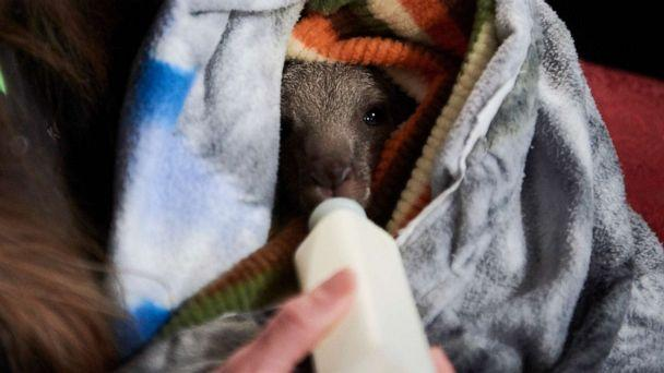 PHOTO: A woman feeds a young kangaroo wrapped in a makeshift pouch at the Raymond Island Koala and Wildlife shelter on Raymond Island in Australia, Jan. 6, 2020. (Christina Simons/The New York Times via Redux)