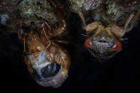 A red-eyed adult cicada hangs on a tree next to a molting nymph, Monday, May 17, 2021, at Woodend Sanctuary and Mansion, Chevy Case, Md. (AP Photo/Carolyn Kaster)
