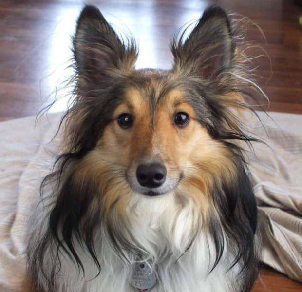 Sassy, a collie, was LaPointe's last support dog. Sassy died shortly before the family moved to P.E.I. in 2016.