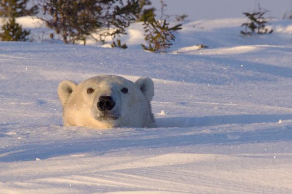 MANDATORY CREDIT: Christine Haines/Rex Features. IMAGES OUTSIDE OF PRINT NEWSPAPER SUBSCRIPTIONS. FEES APPLY FOR UNIQUE IPAD USE.Mandatory Credit: Photo by Christine Haines/REX (3685663c)The mother and the cub peeked out on day eightPolar bear mother and cub peer out from den,Wapusk National Park in Manitoba, Canada - Mar 2014FULL COPY: http://www.rexfeatures.com/nanolink/oqvjAfter wildlife photographer Christine Haines spent eight days watching a polar bear den, she thought she was out of luck in catching sight of them.However her patience in the biting cold of the Wapusk National Park in Manitoba, Canada was rewarded when she managed to steal a few snaps of a first a cub, then its mother peeking out of their hole.Christine explains: