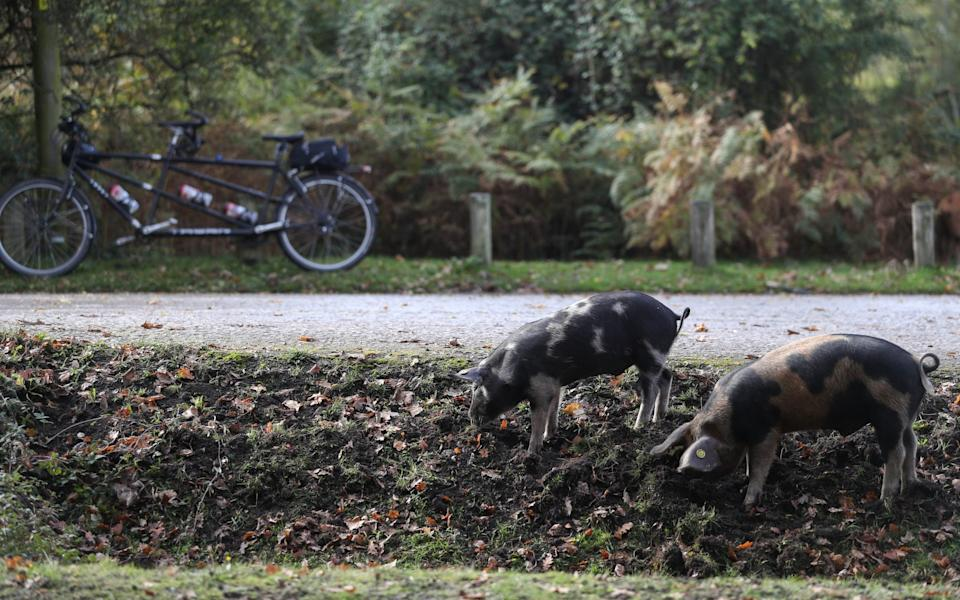 Domestic pigs, released in to the New Forest as part of Pannage season, look for acorns to eat near to Rockford Common.  - Andrew Matthews/PA Wire