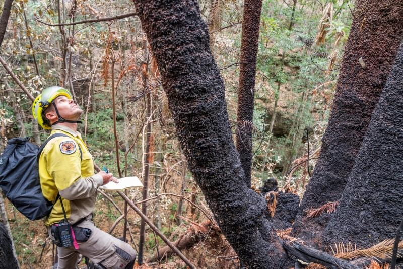 Endangered Wollemi Pines bushfire damage inspection at Wollemi National Park