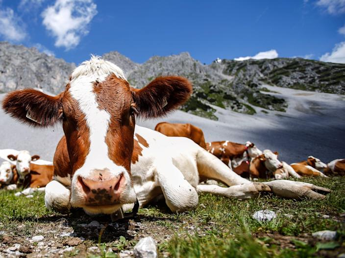 Cows lie in grass in front of Hafelekar mountain on a hot summer day in Innsbruck, Austria