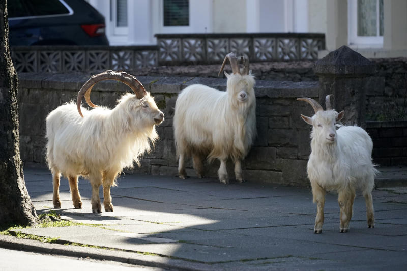 LLANDUDNO, WALES - MARCH 31: Mountain goats roam the streets of LLandudno on March 31, 2020 in Llandudno, Wales. The goats normally live on the rocky Great Orme but are occasional visitors to the seaside town, but a local councillor told the BBC that the herd was drawn this time by the lack of people and tourists due to the COVID-19 outbreak and quarantine measures. (Photo by Christopher Furlong/Getty Images)