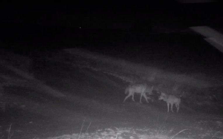 August and Noella, Flanders' two wolves, in nocturnal footage recorded by the Flemish Nature and Woodland Agency. - INBO/ANB