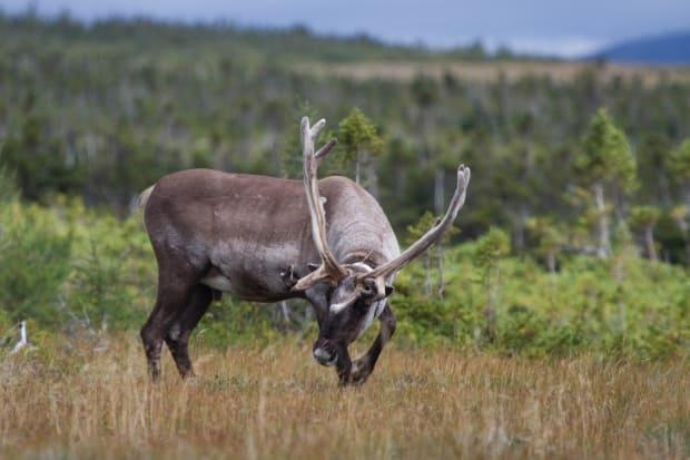 A bull caribou in Gaspésie National Park.  St-Laurent says it may be necessary to introduce new animals into the herd to add genetic diversity.
