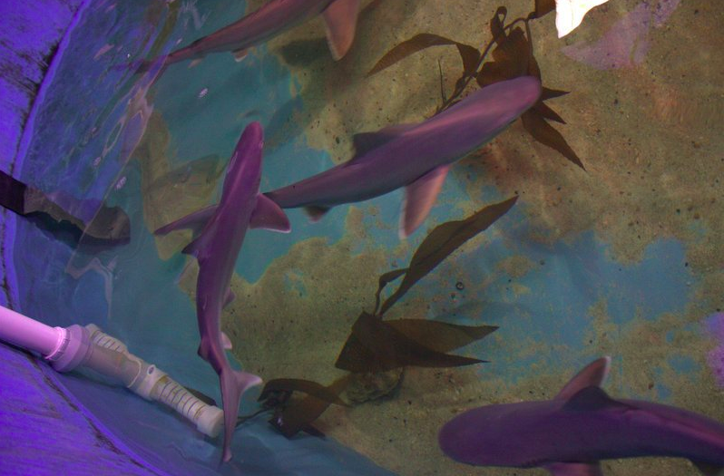 More than half a dozen sharks are recovering at an aquarium after being found swimming in a pool inside of a New York home's basement.