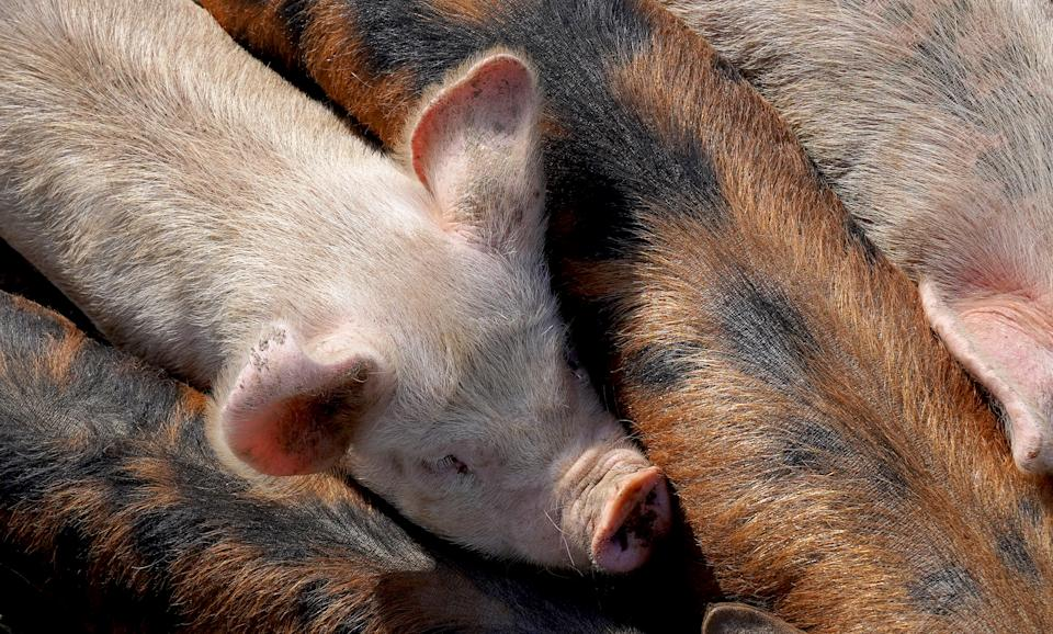 Surplus pigs means farms have to spend more money on feed as well as pay fines charged by processors for pigs that are too fat. Photo: Getty Images
