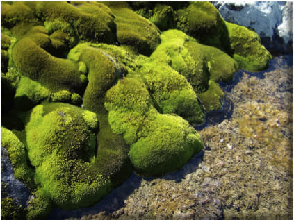 Antarctic Moss Lives Off Penguin Poop