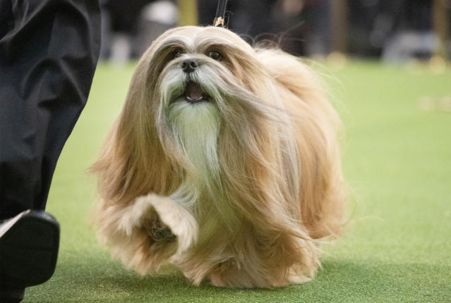 A Lhasa Apso competes during the 144th Westminster Kennel Club dog show, Monday, Feb. 10, 2020, in New York. (AP Photo/Mark Lennihan)