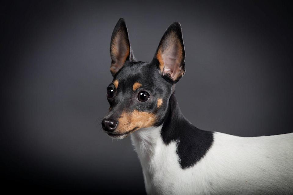 """<p>According to Dogtime.com, <a href=""""https://dogtime.com/dog-breeds/toy-fox-terrier#/slide/1"""" rel=""""nofollow noopener"""" target=""""_blank"""" data-ylk=""""slk:Toy Fox Terriers are the smaller relatives"""" class=""""link rapid-noclick-resp"""">Toy Fox Terriers are the smaller relatives</a> of Smooth Fox Terriers. But, instead of <a href=""""https://www.akc.org/dog-breeds/smooth-fox-terrier/"""" rel=""""nofollow noopener"""" target=""""_blank"""" data-ylk=""""slk:being 18 pounds"""" class=""""link rapid-noclick-resp"""">being 18 pounds</a>, the toy version is just three to seven pounds.</p>"""