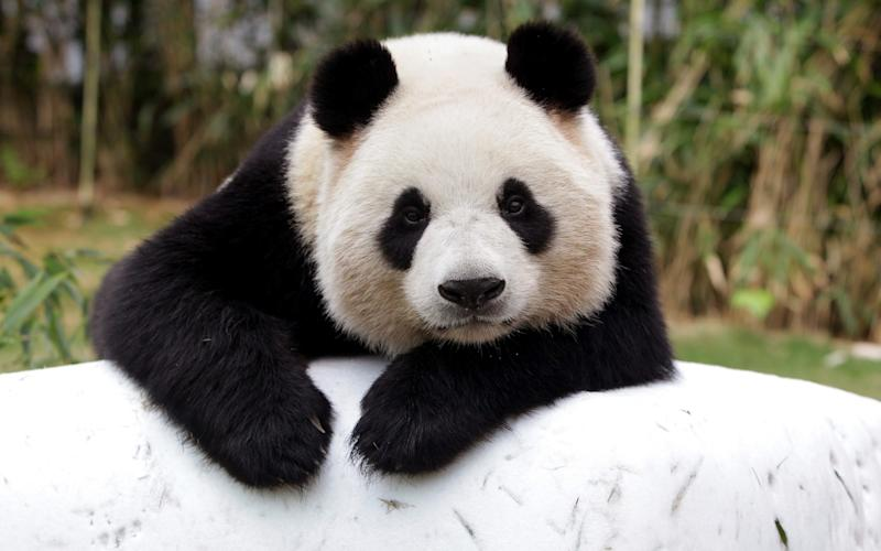 Giant chinese panda Ai Bao - Credit: Getty