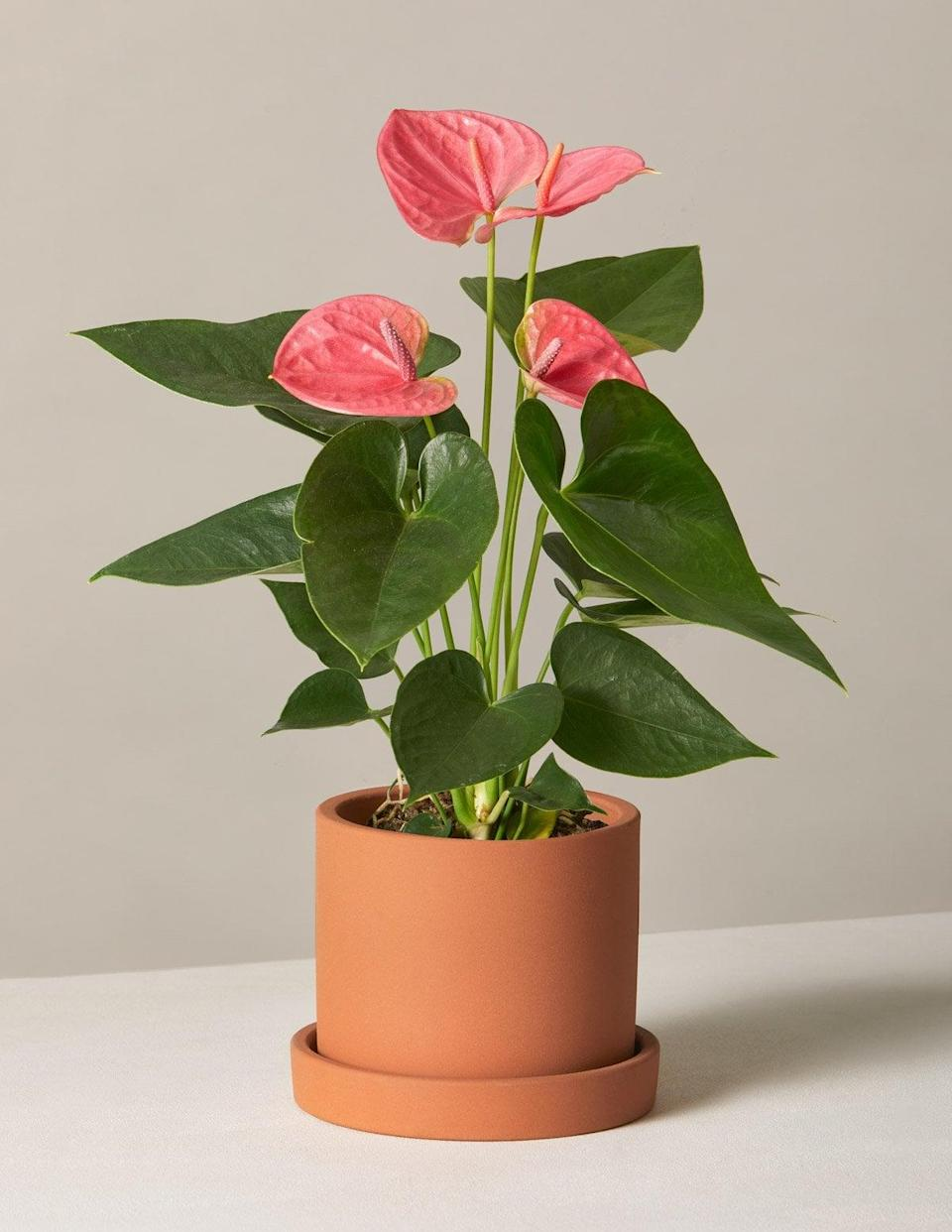 """<p>The phrase """"pretty in pink"""" applies to this <span>Pink Anthurium</span> ($68), wouldn't you say? </p>"""