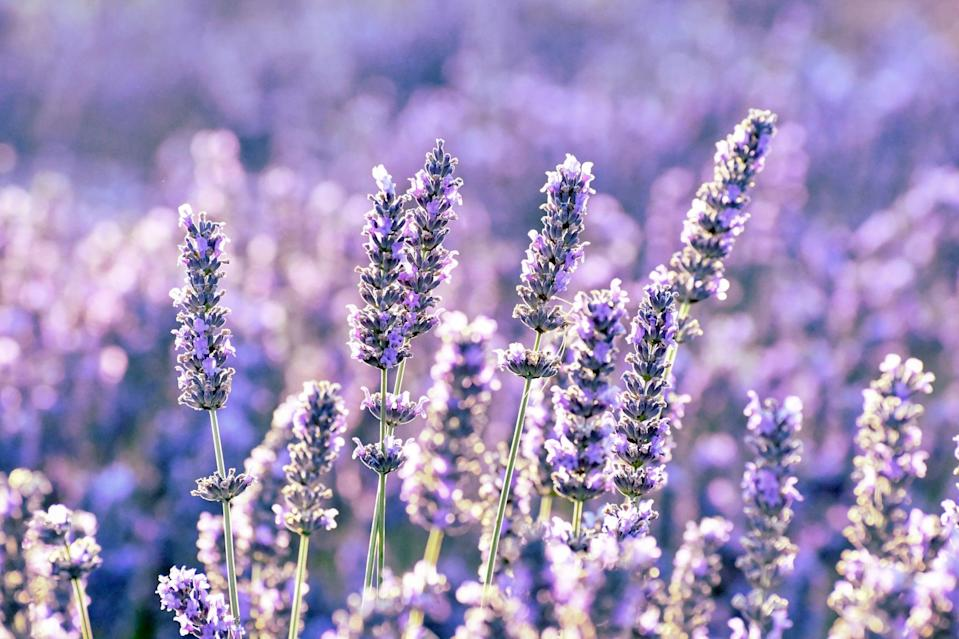 <p>As much as we love lavender's fresh fragrance, bugs like mosquitoes, flies, fleas, and moths do not (woo hoo!). Place lavender in a cute pot outside or near your garden, and if you want to go the extra mile, rub its oil on your skin to ensure those pesky insects won't touch you.</p>