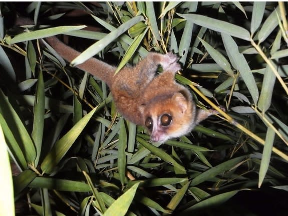 Caught on camera for the first time, this image shows the newly identified Marohita mouse lemur.