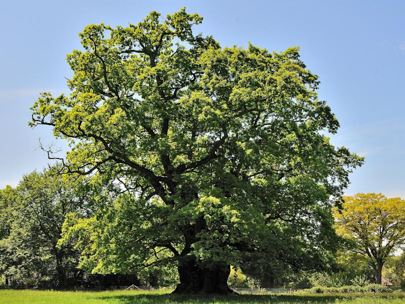 This 850-year-old ancient oak at King's Walden is among 117 examples dating back 800 to 1,000 years: Aljos Farjon