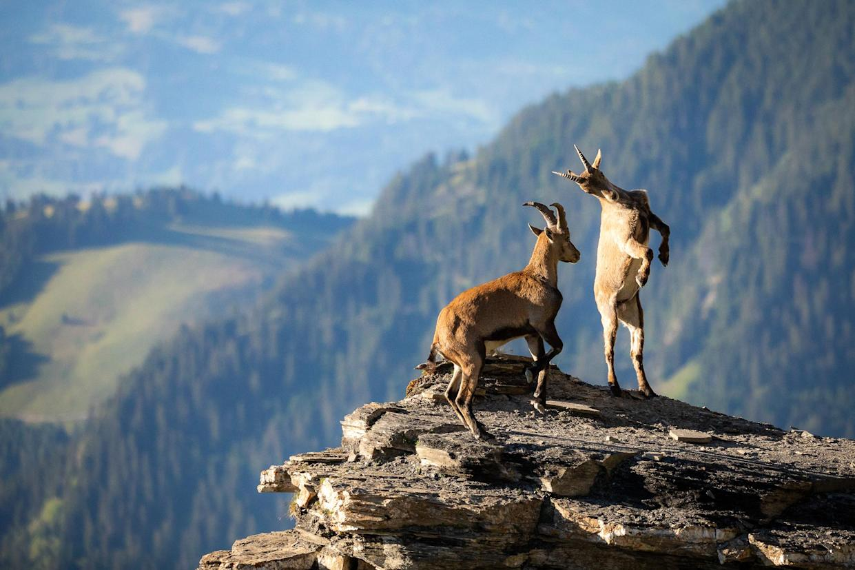 Two young mountain goats