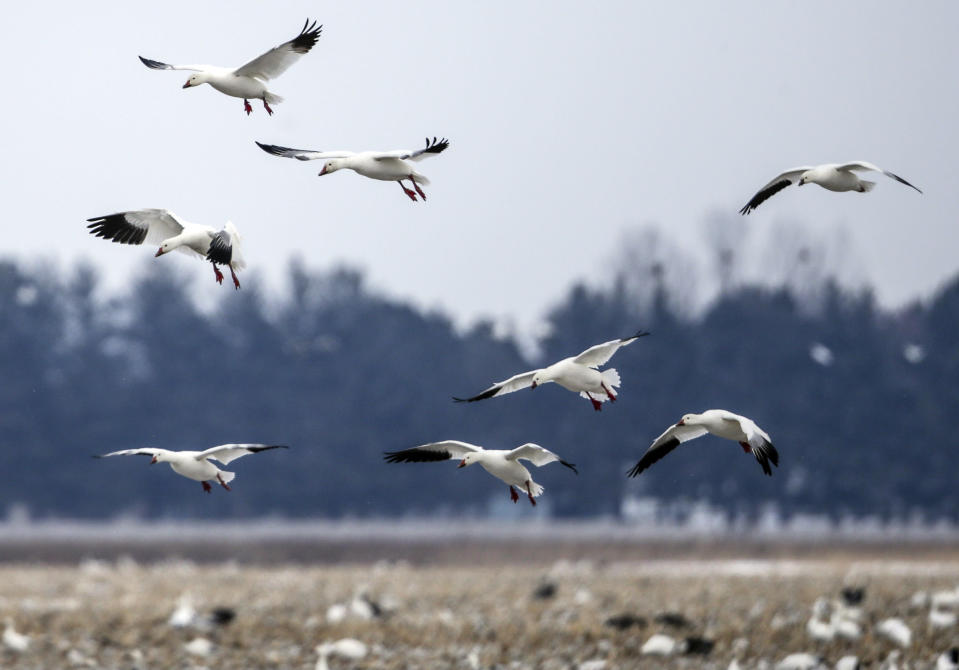 FILE - In this Wednesday, March 7, 2018 file photo, Migrating snow geese come in for a landing in a field near Onawa, Iowa. Experts say President Joe Biden's pledge to undo his predecessor's anti-regulatory policies on the environment won't be accomplished easily, despite a fast start. After taking office last week, Biden returned the U.S. to the Paris climate accords, revoked the Keystone oil pipeline's federal permit and halted oil and gas leasing in the Arctic National Wildlife Refuge. (AP Photo/Nati Harnik, File)