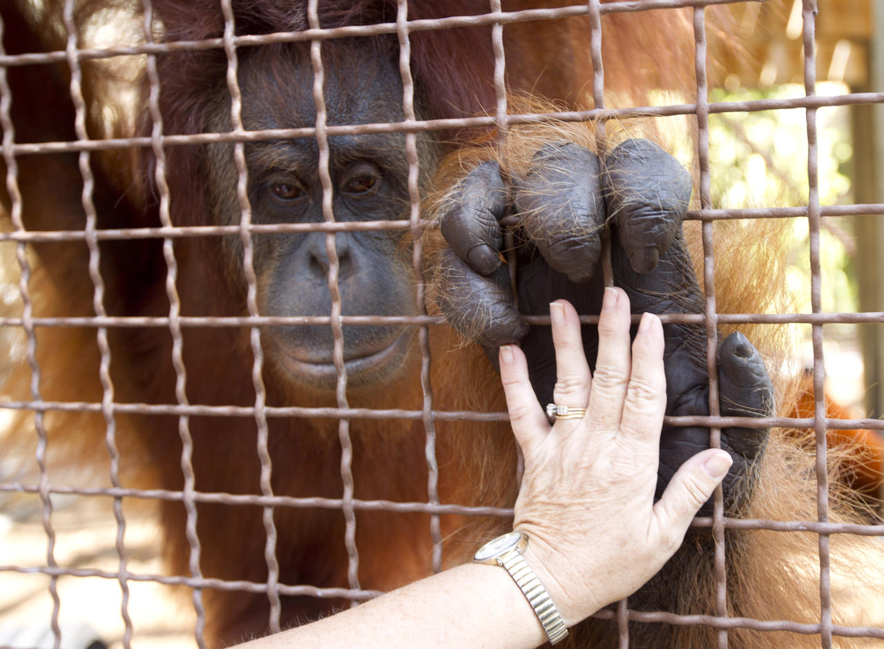 In this April 4, 2012 photo, Linda Jacobs touches an orangutan at Jungle Island in Miami. Experts who work with primates have been using sign language and other methods to communicate with apes for years. But with advancements in tablet computer technology, workers at Jungle Island in Miami are using iPads to better communicate with their orangutans. (AP Photo/J Pat Carter)
