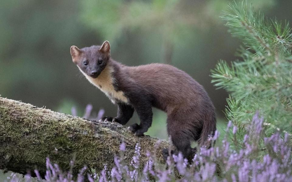 Pine martens are among the charming creatures to spot in the highlands - Getty