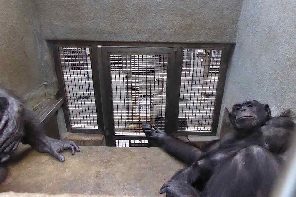 At least two chimps being kept in one enclosure at a time. — Picture courtesy of Friends of the Orangutans