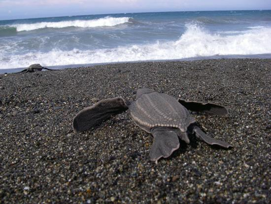 Pacific Leatherback Turtles' Alarming Decline Continues