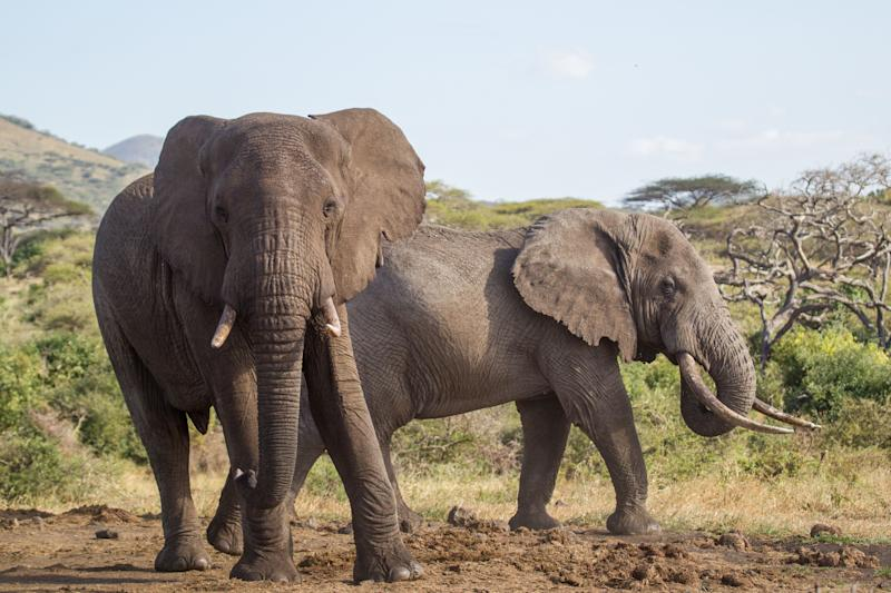 Two African elephants (Loxodonta africana) in the Chyulu hills, Kenya. One stands his ground and faces the camera in an intimidating stance, while the other decides to move away.