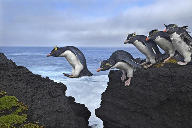 <p>Jump: Rockhopper penguins live up to their name as they navigate the rugged coastline of Marion Island, a South African Antarctic Territory in the Indian Ocean, April 18, 2017.<br>Among the most numerous of penguins, rockhoppers are nevertheless considered vulnerable, and their population is declining, probably as the result of a decreasing food supply. The birds spend five to six months at sea, coming to shore only to molt and breed. They are often found bounding, rather than waddling as other penguins do, and are capable of diving to depths of up to 100 meters in pursuit of fish, crustaceans, squid and krill. (Photo: Thomas P. Peschak) </p>