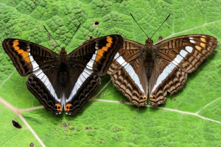 Pictures of the Adelpha corcyra and Adelpha alala butterflies pictures in Colombia's Antioquia department (AFP/JOAQUIN SARMIENTO)