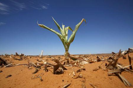 A maize plant is seen among other dried maize at a field in Hoopstad, a maize-producing district in the Free State province, South Africa, January 13, 2016. REUTERS/Siphiwe Sibeko