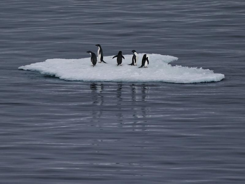 Antarctic Ocean, near Casey Station, Antarctica - December 27, 2017: Five Adelie penguins (Pygoscelis adeliae) perched on top of a bergy bit on a grey sea.
