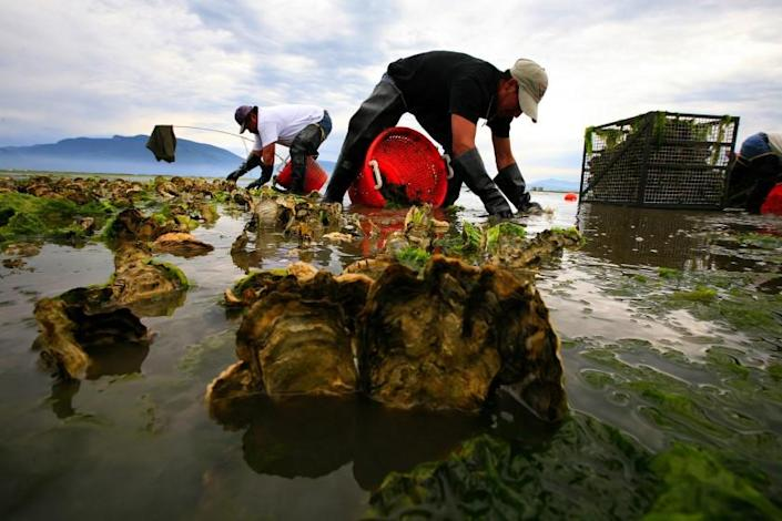 """Farmers harvest oysters in Samish Bay, Wash., in 2008. Plastic traces have been found in seafood and other food and beverages. <span class=""""copyright"""">(Los Angeles Times)</span>"""