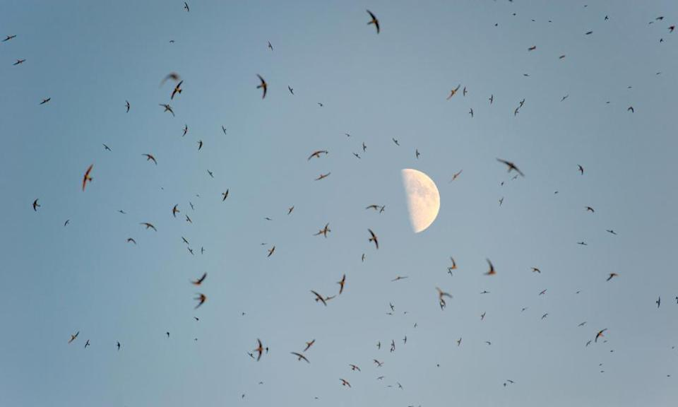 A huge flock of swallows under a bright moon.