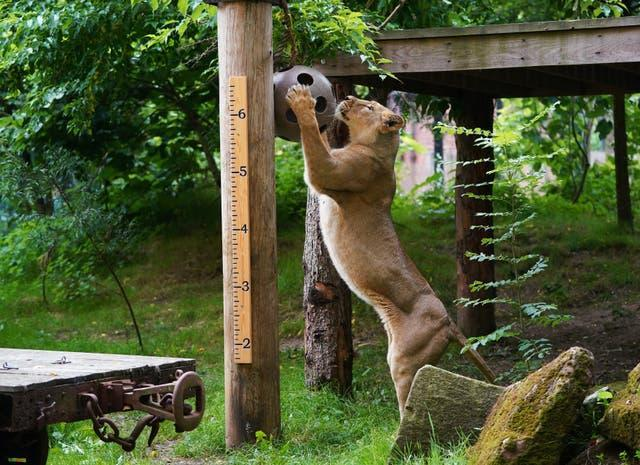 Asiatic lioness Arya during the annual weigh-in at ZSL London Zoo